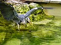 Grey heron at Birdland Park and Gardens, Bourton-on-the-Water, Gloucestershire.jpg