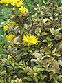 Grindelia chiloensis - Flickr - peganum.jpg