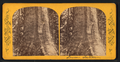 Grizzly Giant, lower section, from Robert N. Dennis collection of stereoscopic views.png