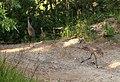 Grus canadensis (Sandhill Crane) 20.jpg