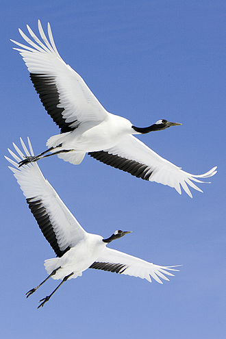 Red-crowned crane - Red-crowned cranes flying