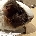 Guinea pig pet.jpg