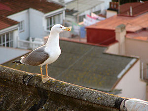 A Yellow-legged Gull (Larus michahellis) on a guano encrusted rooftop in Gibraltar