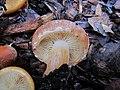 Gymnopilus humicola Harding ex Singer 290356.jpg