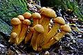 Gymnopilus junonius. (33984929470).jpg