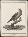 Gypaëtus barbatus - 1790-1832 - Print - Iconographia Zoologica - Special Collections University of Amsterdam - UBA01 IZ18100029.tif