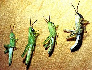 Hieroglyphus daganensis - Rice grasshopper nymphs in Mali, showing darkened coloration (on right) after crowding