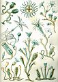 Haeckel Campanariae.jpg