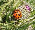 Harlequin Ladybird (45263647414).jpg
