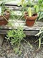 Hatiora salicornioides - Wellesley College - DSC09760.JPG