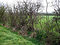 Hawthorn Hedge - geograph.org.uk - 399674.jpg