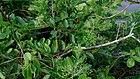 Headache Tree (Premna serratifolia) 2.jpg