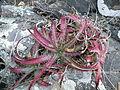Hechtia species (5734575278).jpg