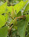 Hedge Bindweed (Calystegia sepium) - Kitchener, Ontario 2018-06-05 (02).jpg