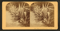 Hedge of Century plants. Florida, from Robert N. Dennis collection of stereoscopic views.png