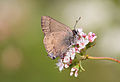 Hedgerow Hairstreak (Satyrium saepium), butterfly.jpg