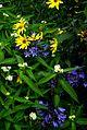 Helianthus atrorubens, Asclepias Ice Ballet and Agapanthus - Flickr - peganum.jpg