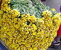 Helichrysum indicum.JPG