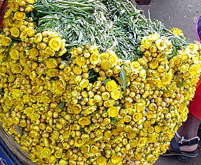 Description de l'image  Image:Helichrysum indicum.JPG .