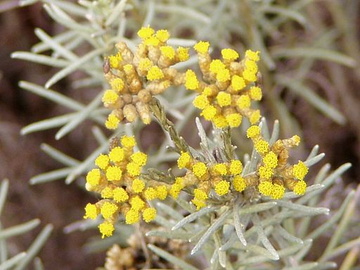 Helichrysum italicum flowers