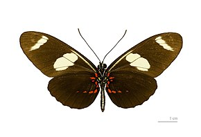 Description de l'image  File: Heliconius sara sara MHNT ventre.jpg.