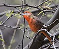 Hepatic Tanager (33934901586).jpg