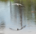 Heron flies over Mother Brook in Hyde Park, MA.png