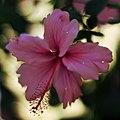 Hibiscus-.jpg