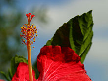 Hibiscus wikipedia la enciclopedia libre for Significado de ornamental wikipedia
