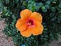 Hibiscus rosa-sinensis in Phuket (8482734844).jpg