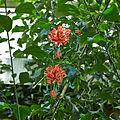 Hibiscus schizopetalus-IMG 9418.jpg