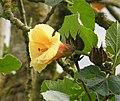 Hibiscus tiliaceus Malvaceae - Flickr - gailhampshire (1).jpg