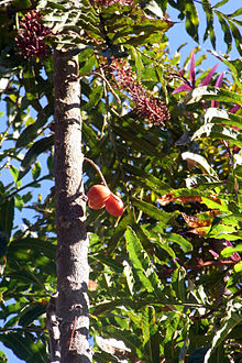 Hicksbeachia pinnatifolia cultivated tree.JPG