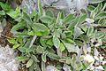 Hieracium lanatum - GBA Viote 24.jpg