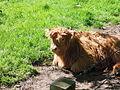 Highland Cattle, Scone Palace, Scotland (8924811405).jpg