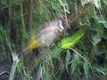 Himalayan Bulbul I IMG 3006.jpg