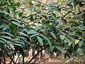 Hiptage benghalensis (7087806595).jpg