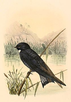 Hirundo nigrita 1894.jpg