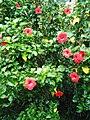 Hoa dâm bụt tại Khu nghỉ dưỡng Trung Sơn Trầm ở Sơn Tây (3).jpg