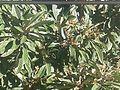 Hojas de Eriobotrya japonica.jpg