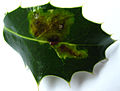 Holly leaf miner1.jpg