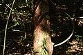 Hopea ponga - കമ്പകം 07.jpg