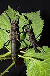 Hoploclonia abercrombiei - pair.JPG