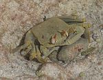 Horned Ghost Crab(Ocypoda ceratophthalma) -7.jpg