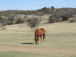 Matador Ranch - A lone horse grazing at the Matador Ranch