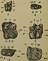 Horses' teeth- a treatise on their mode of development, anatomy, microscopy, pathology, and dentistry; compared with the teeth of many other land and marine animals, both living and extinct; with a (14788272143).jpg