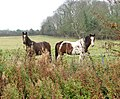 Horses west of Fersfield - geograph.org.uk - 1576997.jpg