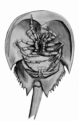 Atlantic horseshoe crab - Underside view: The mouth opening is between the legs, and the gills are visible below.