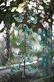 Hortus Botanicus Leiden Jadebloem (Strongylodon macrobotrys) (33934689045).jpg