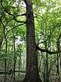 Hrast lužnjak u posebnom rezervatu šumske vegetacije Prašnik.jpg